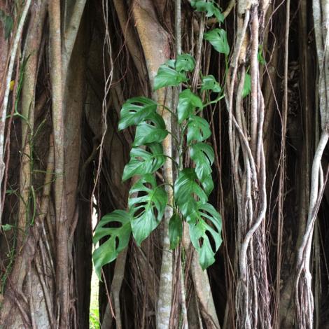 Arbol con hojas de monstera